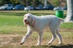 长的白发得到肮脏在公园 免版税库存图片