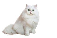 长的白色猫 库存照片