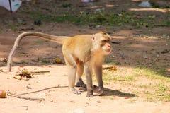 长的短尾猿猴子盯梢了 库存图片