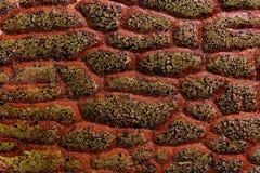 长的红色龙标度岩石纹理 图库摄影