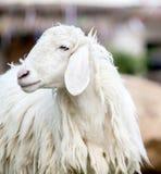 长的羊毛绵羊特写镜头  免版税库存图片