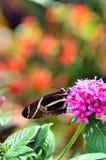 长的翼蝴蝶 免版税库存照片