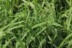长的草绿色 库存图片