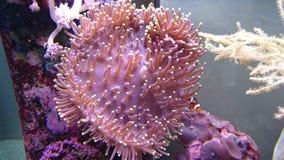 长的触手盐水银莲花属和clownfish 库存图片