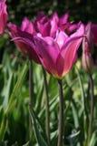长的词根洋红色色的郁金香由太阳点燃了 库存图片