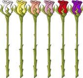 长的词根玫瑰 库存照片