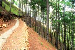 长的足迹在杉木森林里 库存照片