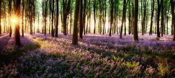 长的阴影在会开蓝色钟形花的草森林 免版税库存照片