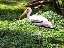 长的嘴白色鸟 免版税库存图片