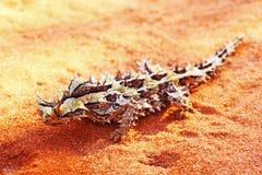 长相滑稽的棘手的恶魔,西澳州 免版税库存图片