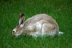 长耳大野兔吃 库存照片