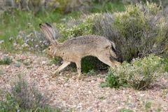 长耳大野兔在沙漠 免版税库存图片