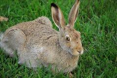 长耳大野兔 库存图片