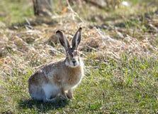 长耳大野兔 图库摄影