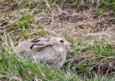 长耳大野兔 库存照片