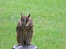 长耳朵猫头鹰在岗位栖息有草背景 库存照片