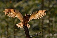 长耳朵猫头鹰坐分支在下落的落叶松属森林里在休息日期间 在森林野生生物场面掩藏的猫头鹰从 免版税库存照片