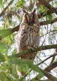 长耳朵猫头鹰坐在厚实的树枝之间 库存图片