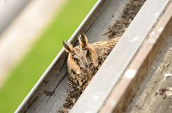 长耳朵猫头鹰澳大利亚安全情报组织otus 在鸡蛋的长耳朵猫头鹰女性舱口盖在天沟 鸟在自然栖所 免版税库存照片