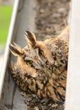 长耳朵猫头鹰澳大利亚安全情报组织otus 在鸡蛋的长耳朵猫头鹰女性舱口盖在天沟 免版税图库摄影