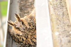 长耳朵猫头鹰澳大利亚安全情报组织otus 在鸡蛋的长耳朵猫头鹰女性舱口盖在天沟 免版税库存图片