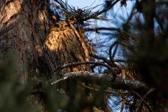 长耳朵猫头鹰澳大利亚安全情报组织otus 免版税库存图片