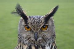 长耳朵猫头鹰画象 图库摄影