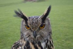 长耳朵猫头鹰画象 库存照片