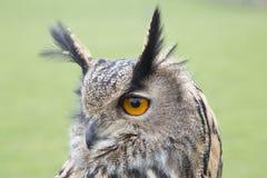 长耳朵猫头鹰画象 库存图片