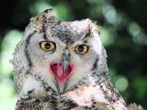 长耳朵猫头鹰关闭 免版税库存图片