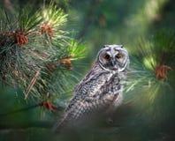 长耳朵猫头鹰在森林里 免版税库存图片