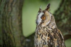 长耳朵猫头鹰特写镜头 库存图片