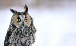 长耳朵猫头鹰特写 库存图片