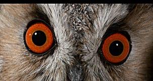 长耳朵猫头鹰,澳大利亚安全情报组织otus,成人,关闭画象眼睛,诺曼底在法国, 影视素材