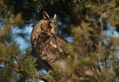 长耳朵猫头鹰(澳大利亚安全情报组织otus)在日落的树 库存图片