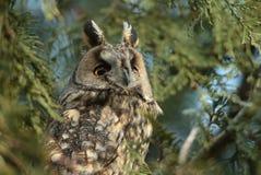 长耳朵猫头鹰(澳大利亚安全情报组织otus)在树 免版税库存图片