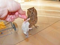 长耳朵猫头鹰-站立吃一只老鼠 免版税库存照片