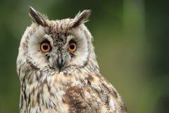 长耳朵猫头鹰 库存图片