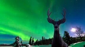 长耳鹿和极光borealis在taiga森林 免版税图库摄影