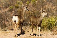 长耳鹿在亚利桑那 免版税库存图片
