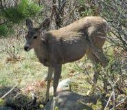 长耳鹿在夏延山国家公园 免版税库存照片