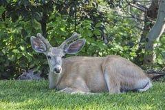 长耳鹿在天鹅绒的空齿鹿属hemionus 免版税库存照片