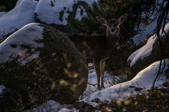 长耳鹿在科罗拉多 库存照片
