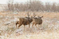 长耳鹿大型装配架和母鹿在车轮痕迹 图库摄影