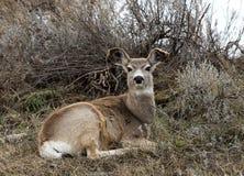 长耳鹿母鹿 库存图片