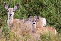 长耳鹿母鹿 免版税图库摄影