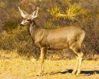 长耳鹿边画象在沙漠洗刷 库存照片