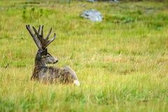长耳鹿& x28; 空齿鹿属hemionus& x29; 免版税库存图片