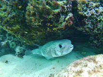 长脊椎刺顿鱼,在礁石多米尼加共和国下的河豚 免版税库存照片