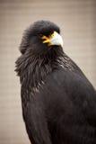 长腿兀鹰上了条纹 免版税库存图片